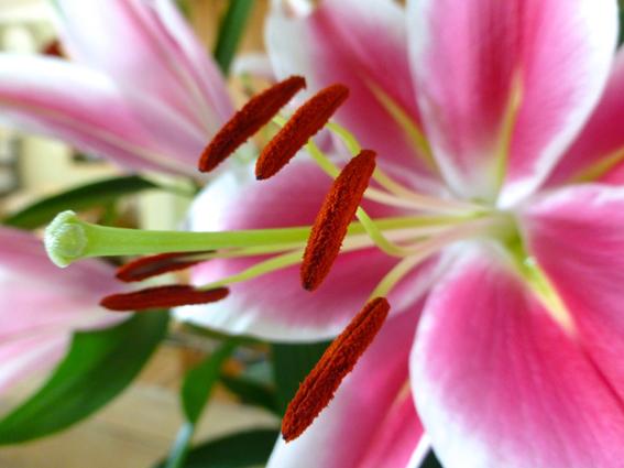 Lily close upsmall