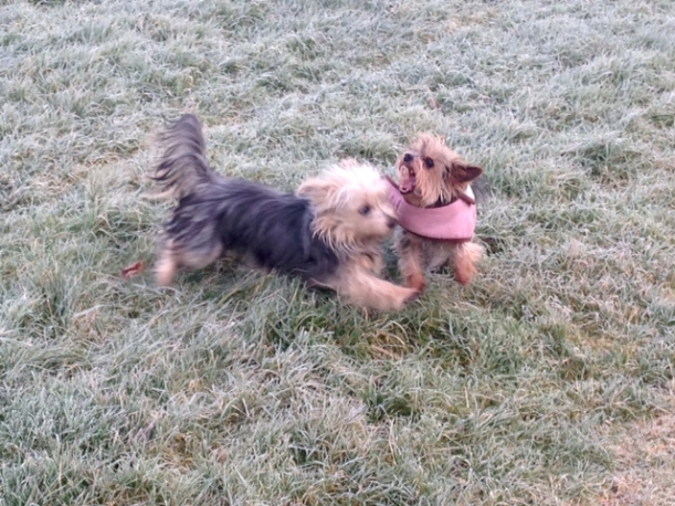 Dogs playing in the frost