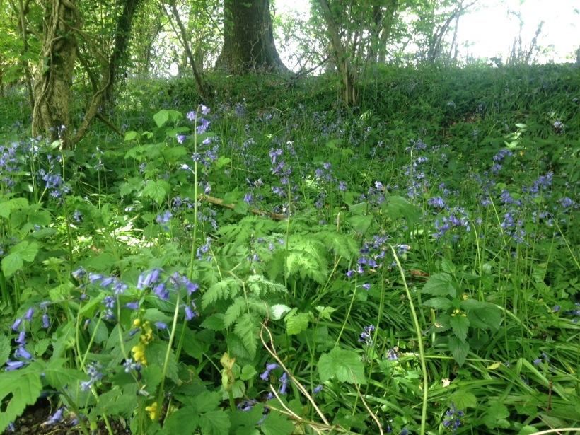 Bluebell hedgerow